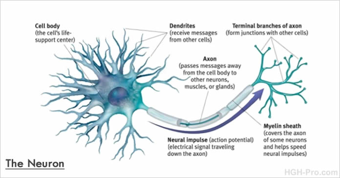 Brain cells - the Neuron