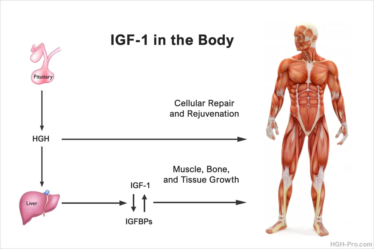 IGF-1 in the body