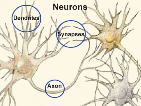 Brain Cells Dendrites Brain Cells Neurons